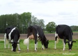 Talent Lawina VG, Talent Lubiza EX, Goldwyn Layla VG